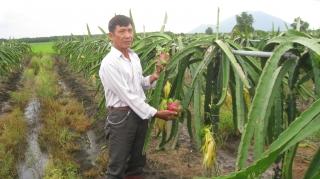 Mô hình trồng thanh long ruột đỏ leo giàn ở Tân Biên