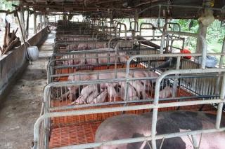 Người chăn nuôi chờ tiền hỗ trợ