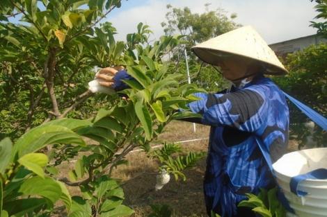 Nông dân không thiết tha tái đăng ký chứng nhận VietGAP