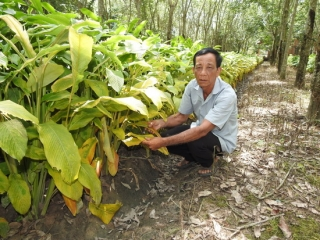 Vườn củ lùn của nông dân ở Truông Mít liên tiếp bị phá hoại