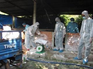 TP.Tây Ninh: Tiêu hủy gần 170 con heo nhiễm dịch tả Châu Phi