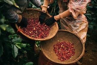Giá cà phê hôm nay 24/9: Tăng lên 33.600 đồng/kg