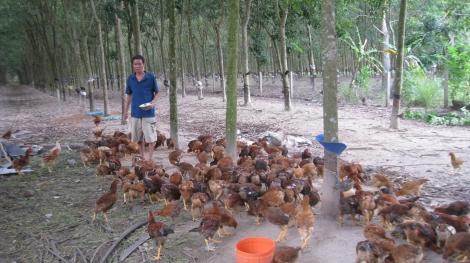 Hiệu quả từ mô hình nuôi gà thả vườn