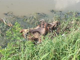 Xác heo chết vứt dưới kênh ao hồ