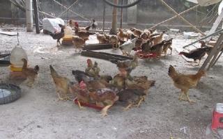 Thu nhập ổn định từ mô hình nuôi gà thả vườn