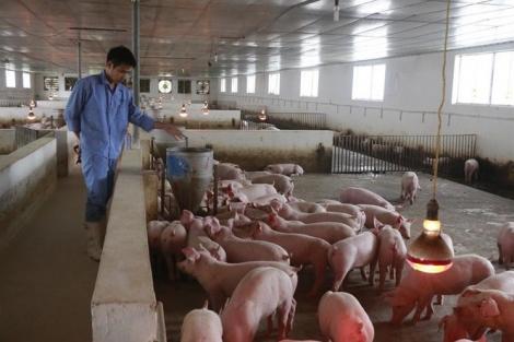 Lên phương án nhập khẩu 100.000 tấn thịt lợn dịp Tết