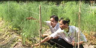 Mô hình trồng măng tây ở Chà Là