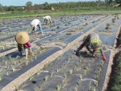 Nhiều nông dân ở Hiệp Thạnh chuyển đổi cơ cấu cây trồng