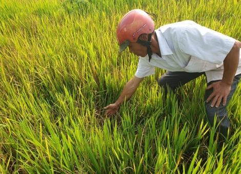 Gần 100 ha lúa Vụ Đông xuân bị chuột cắn phá