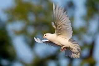 Chim bồ câu bay về