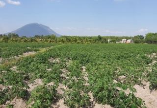 Cả tỉnh còn hơn 28 ngàn ha mì bị nhiễm bệnh khảm lá