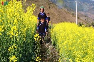 Ảnh: Mùa vàng hoa cải trên danh thắng ruộng bậc thang Mù Cang Chải