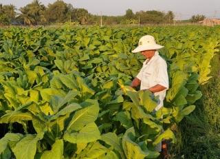 Thời tiết thuận lợi, nông dân trồng thuốc lá phấn khởi