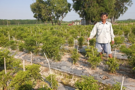 Ninh Điền: Nông dân trồng ớt điêu đứng vì bệnh xoăn đọt