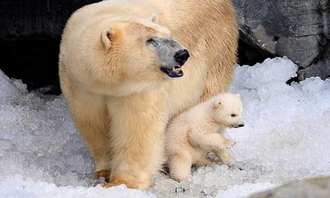 Gấu Bắc Cực ăn thịt đồng loại do biến đổi khí hậu