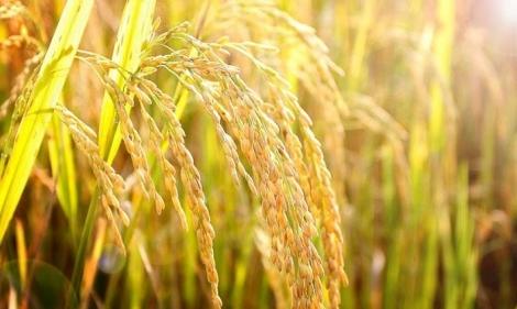 Vụ lúa Đông Xuân: Nông dân Gò Dầu trúng mùa, được giá