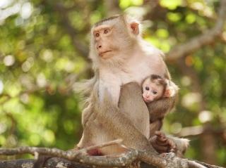 Đói ăn, bầy khỉ trong Nội ô Toà Thánh tràn ra đường