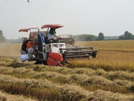 Châu Thành: Nông dân trồng lúa phấn khởi vì trúng mùa được giá