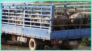 Sở GTVT triển khai phòng, chống dịch bệnh trên gia súc, gia cầm