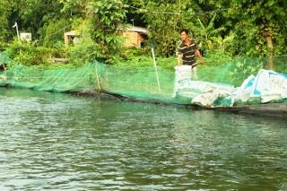 Giá cá lóc đen xuống thấp, người nuôi cá lao đao
