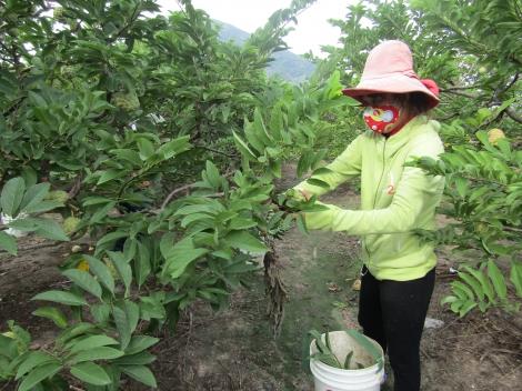 Tây Ninh: Tăng cường áp dụng biện pháp kỹ thuật, phòng trừ sâu bệnh hại cho cây trồng
