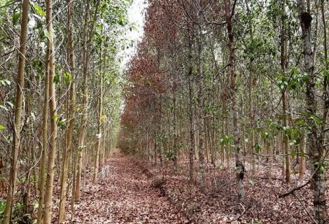 Tây Ninh: Trên 700 ha rừng trồng bị thiệt hại do nắng hạn kéo dài