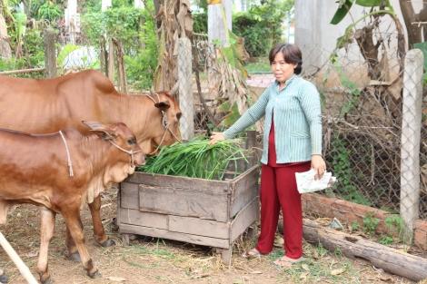 Tân Biên: Hiệu quả của Đề án hỗ trợ trâu, bò sinh sản cho người nghèo