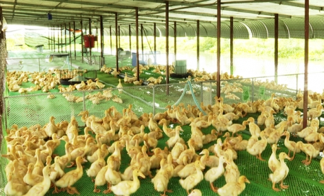 Hiệu quả từ nuôi vịt trên sàn lưới