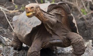 Rùa trăm tuổi nghỉ hưu sau 43 năm miệt mài phối giống