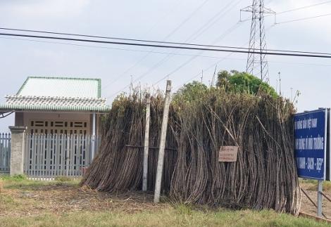 Khoảng 90% diện tích mì trong tỉnh bị nhiễm bệnh khảm lá