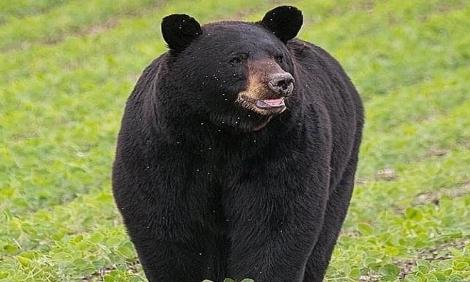 Gấu đen đi gần 700 km để tìm bạn tình