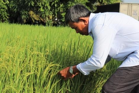 Hội thảo đánh giá kết quả sản xuất giống lúa ST24