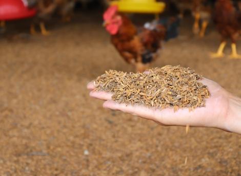 Hiệu quả của mô hình chăn nuôi gà lông màu an toàn sinh học