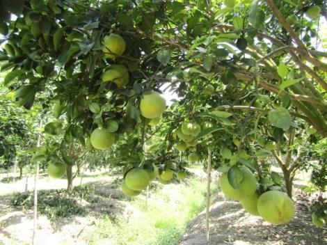 Tây Ninh: Xây dựng kế hoạch hỗ trợ chứng nhận VietGAP cây ăn trái