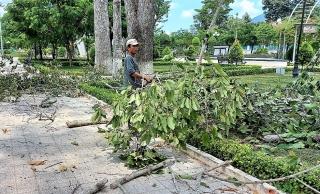 Huyện Dương Minh Châu đã khắc phục các nhánh cây dầu cổ thụ bị khô chết