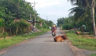Vật nuôi thả rong và nỗi lo an toàn giao thông