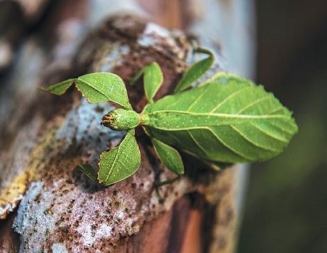 Phát hiện loài bọ lá ở Vườn quốc gia Lò Gò - Xa Mát
