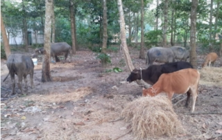 Bắt quả tang đối tượng nhập lậu trâu bò từ Campuchia về Việt Nam
