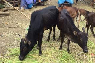 Khẩn trương triển khai các biện pháp kiểm soát, phòng, chống bệnh viêm da nổi cục trên trâu, bò