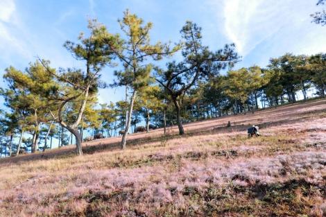 Check-in đồi cỏ hồng Đà Lạt ngày chớm đông