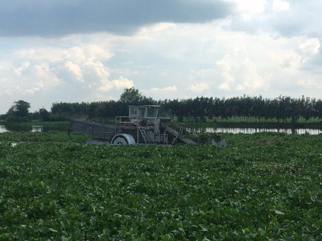 Áp dụng phương pháp mới xử lý lục bình trên sông Vàm Cỏ Đông