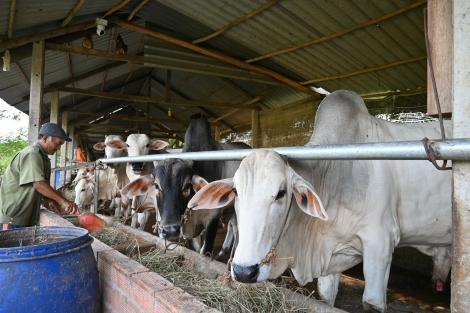 Thu nhập cao từ mô hình nuôi bò trắng