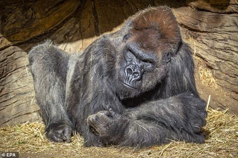 Lần đầu tiên phát hiện khỉ đột trong vườn thú mắc Covid-19