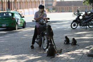 Sẽ di dời đàn khỉ trong Nội ô Tòa Thánh thả về rừng tự nhiên