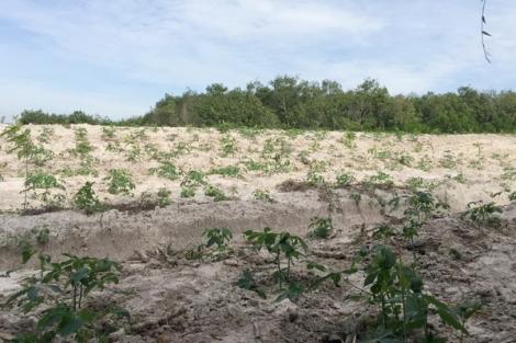 Ðất rừng tại Tiểu khu 47, rừng phòng hộ Dầu Tiếng bị lấn chiếm: Lại phát hiện vi phạm