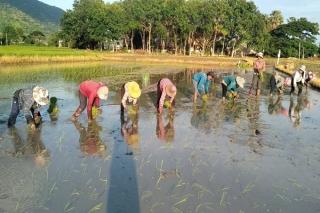 Phục tráng thành công giống lúa Huyết rồng và Khao Dawk Mali 105