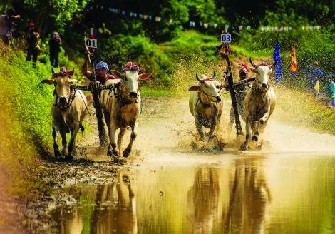 Nghệ nhân đua bò Bảy Núi nuôi trâu cò Tây Ninh