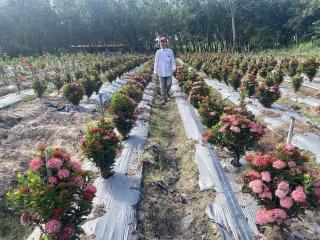 Trồng cây bông trang cho thu nhập cao