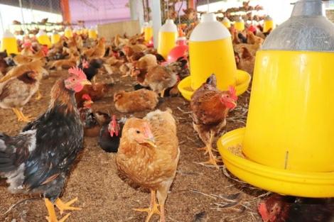 Bảo đảm quy định về mật độ chăn nuôi