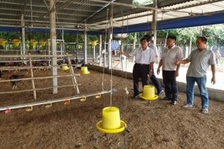 Giá thức ăn gia súc, gia cầm tăng, người chăn nuôi lo lỗ